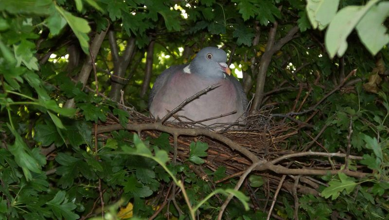 Wood_Pigeon_Nest_12.06.09