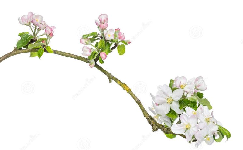 Tak-van-japanse-kers-prunus-serrulata-geïsoleerd-tot-bloei-komen-32493814